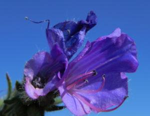 Wegerichblaettriger Natternkopf Bluete lila Echium plantagineum 18