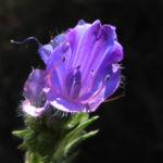 Bild: Wegerichblättriger Natternkopf Blüte lila Echium plantagineum