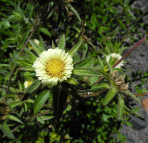 Weidenblaettrige Eberwurz Bluete gelb Carlina salicifolia 02