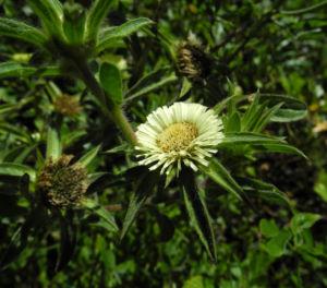 Weidenblaettrige Eberwurz Bluete gelb Carlina salicifolia 10