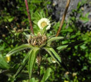 Weidenblaettrige Eberwurz Carlina salicifolia 00