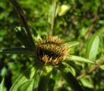 Weidenblaettrige Eberwurz Carlina salicifolia 01
