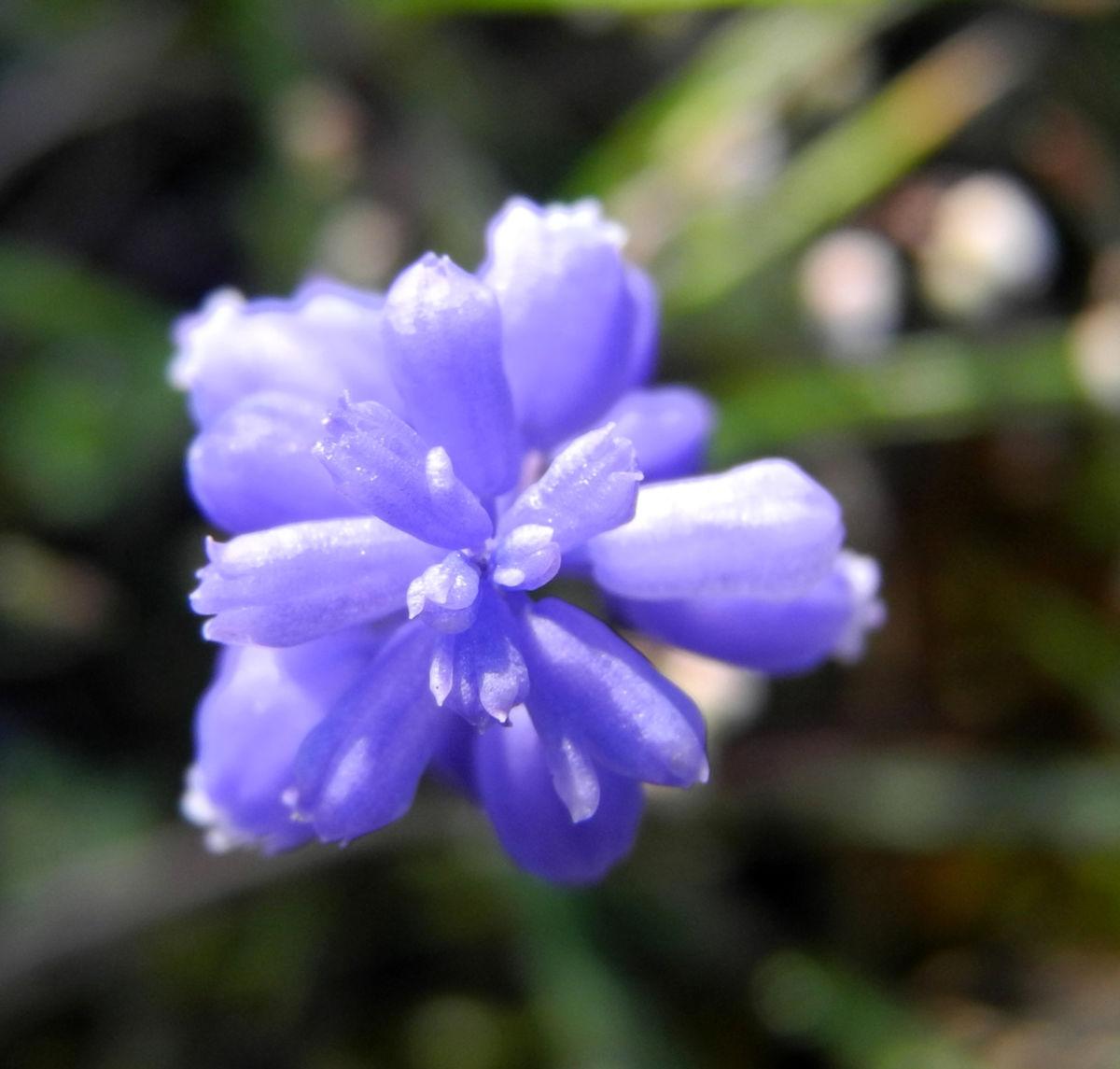 Weinbergs Traubenhyazinthe Bluete blau Muscari neglectum