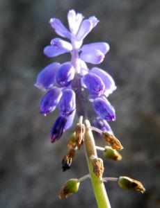 Weinbergs Traubenhyazinthe Bluete blau Muscari neglectum 09