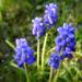 Zurück zum kompletten Bilderset Weinbergs-Traubenhyazinthe Blüte blau Muscari neglectum