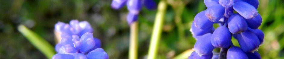 weinbergs-traubenhyazinthe-bluete-blau-muscari-neglectum