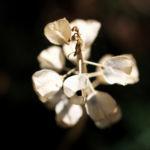 Weinbergs-Traubenhyazinthe Samen hellbraun Muscari neglectum 03