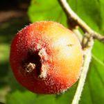 Weisdorn rote Frucht Crataegus 09