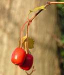 Weissdorn Baum Frucht rot Crataegus microphytta 01