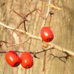 Weissdorn Baum Frucht rot Crataegus microphytta 03
