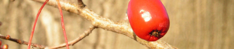 kleinblaettriger-weissdorn-frucht-rot-crataegus-microphylla