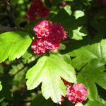 Weissdorn Bluete rot Crataegus laevigatus 04