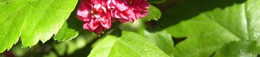 Anklicken um das ganze Bild zu sehen  Weissdorn Blüte rot Crataegus laevigatus