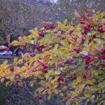 Weissdorn Fruchtstand Crateagus 01