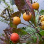 Weissdorn Fruchtstand Crateagus 02