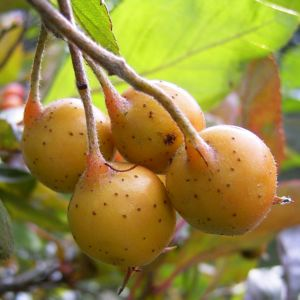 Weissdorn Fruchtstand Crateagus 06