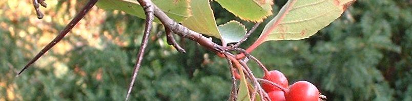 Anklicken um das ganze Bild zu sehen Pflaumenblättriger Weissdorn Frucht rot Blatt grün Crataegus prunifolia