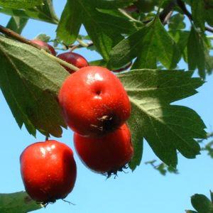 Weissdorn rote Frucht Crataegus cf aronia 03