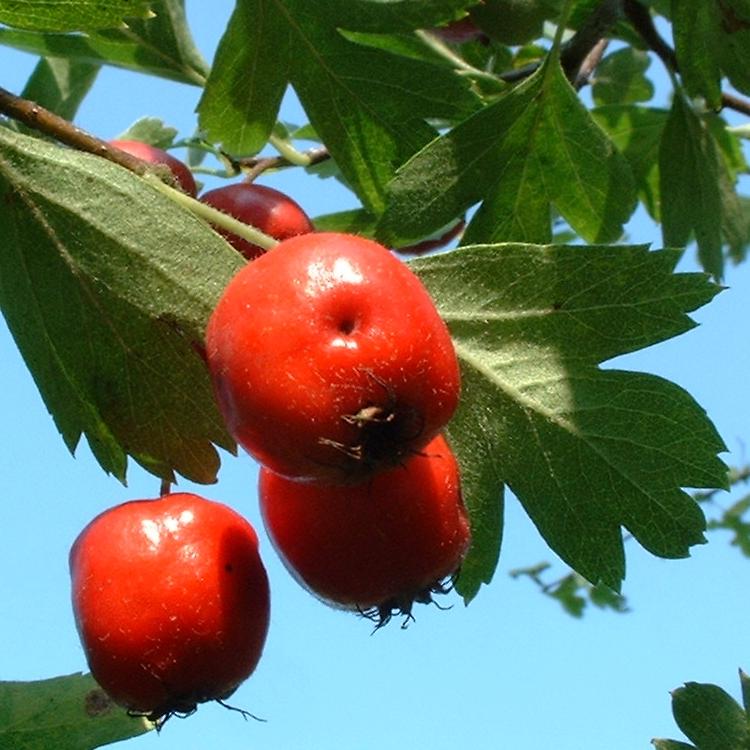 Weissdorn rote Frucht Crataegus cf aronia