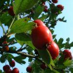 Weissdorn rote Frucht Crataegus cf aronia 04