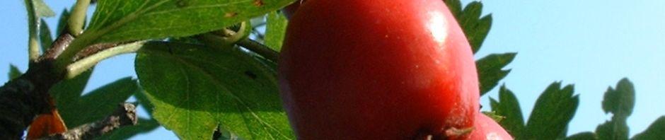 azaroldorn-frucht-rot-crataegus-aronia