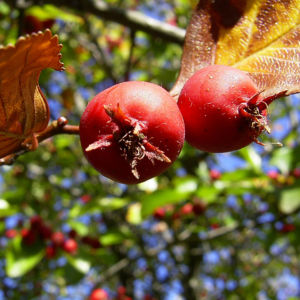 Weissdorn rote Fruechte Crataegus viridis 01