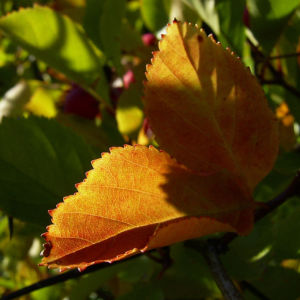 Weissdorn rote Fruechte Crataegus viridis 02