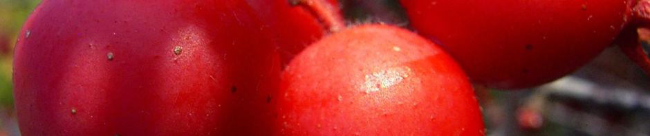 gruener-weissdorn-rote-fruechte-crataegus-viridis