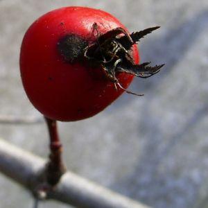 Weissdorn rote Fruechte Crataegus viridis 05