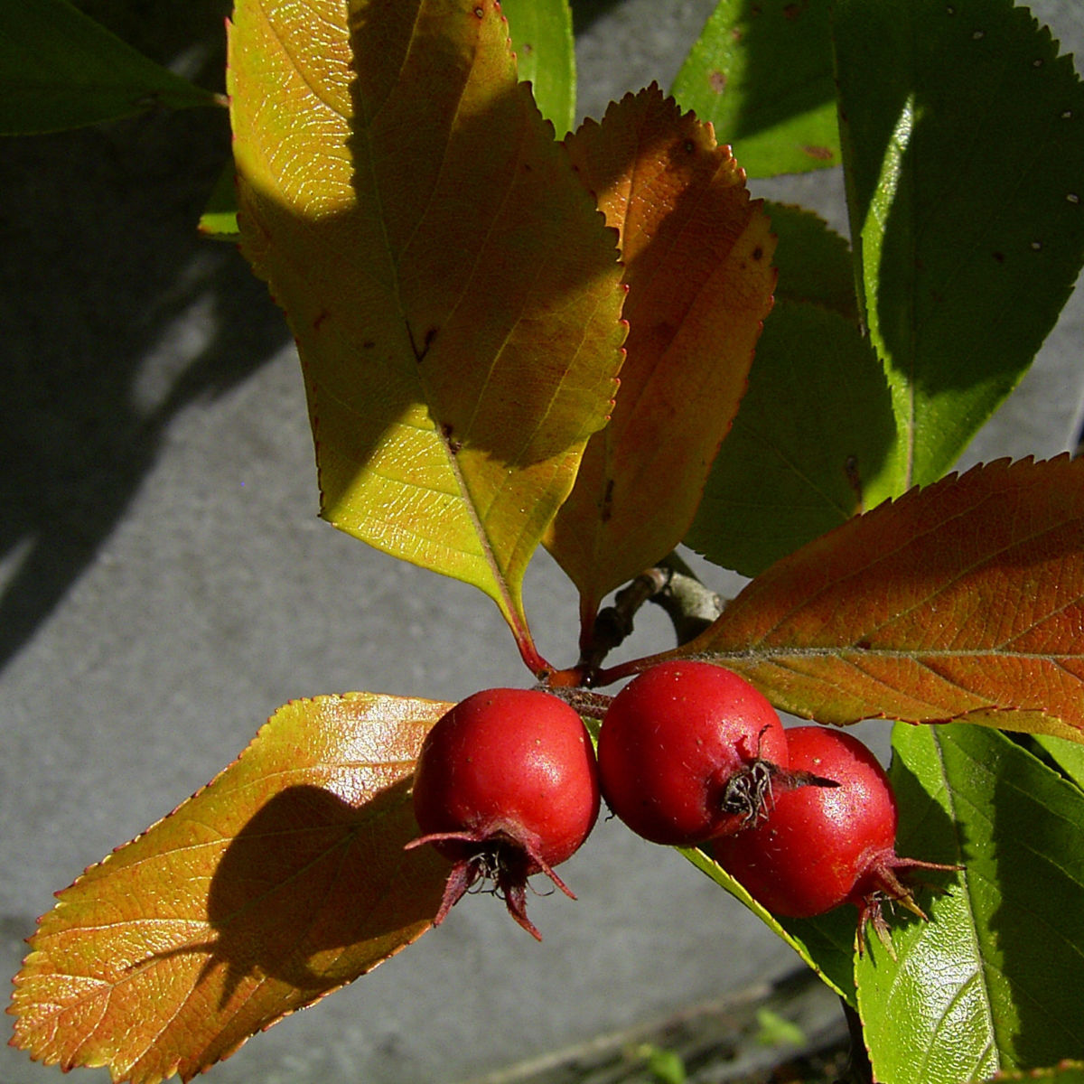 Weissdorn rote Fruechte Crataegus viridis