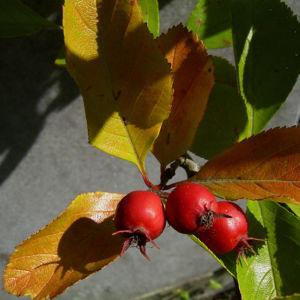 Weissdorn rote Fruechte Crataegus viridis 06