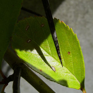 Weissdorn rote Fruechte Crataegus viridis 07