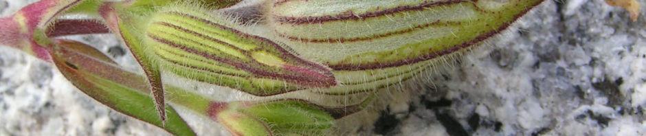 Anklicken um das ganze Bild zu sehen Weiße Lichtnelke Blütenkapsel grünlich Silene alba