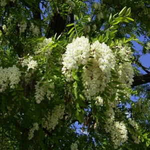 Weisse Robinie bluehend Robinia pseudo acacia 01