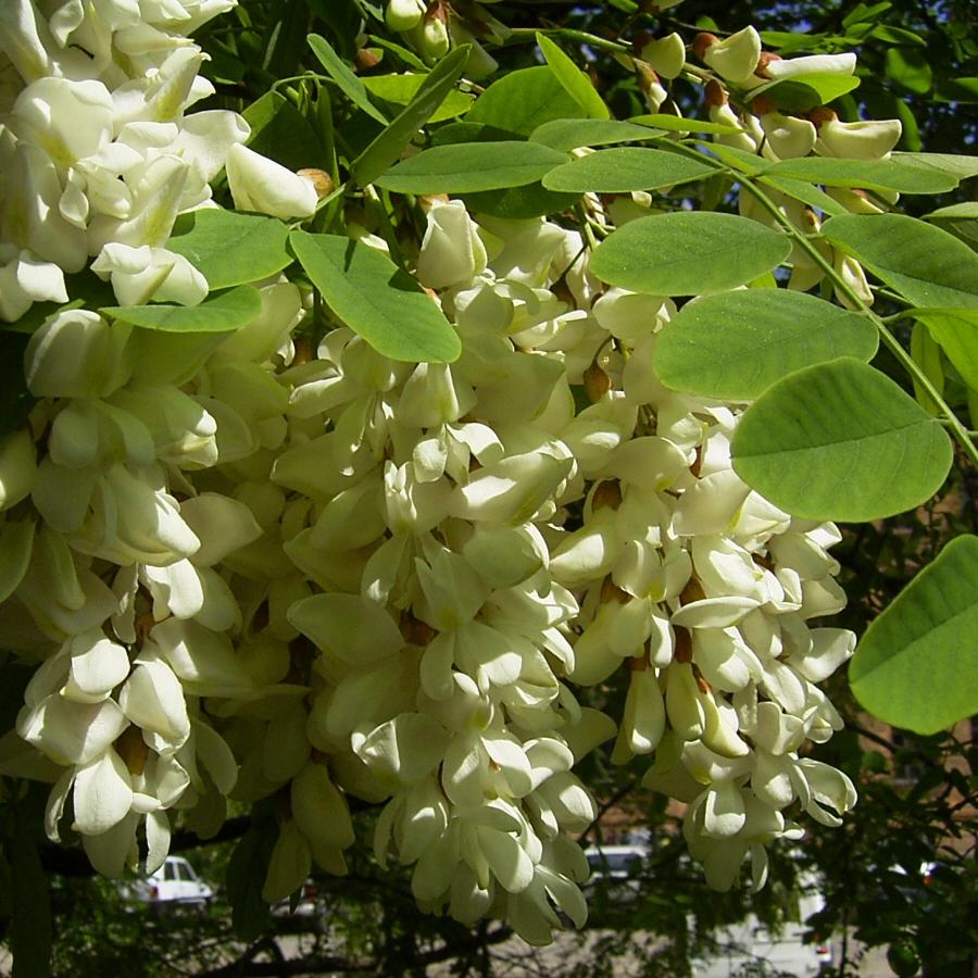 Weisse Robinie bluehend Robinia pseudo acacia