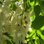 Weisse Robinie bluehend Robinia pseudo acacia 05