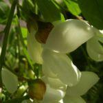 Bild: Gewöhnliche Robinie Blüte weiß Robinia pseudoacacia