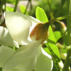 Weisse Robinie bluehend Robinia pseudo acacia 07