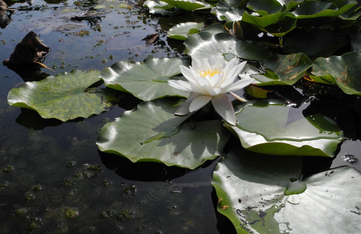 weiße seerose blatt gruen nymphaea alba