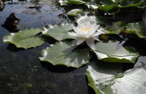weiße seerose blatt gruen nymphaea alba 02
