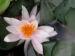 Zurück zum kompletten Bilderset Weiße Seerose Blüte weiß gelb Blatt grün Nymphaea alba