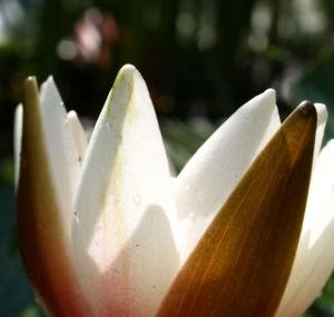 Image: Weisse Seerose Bluete weiss Nymphaea alba