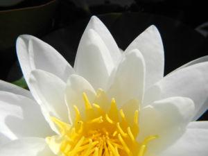 weiße seerose bluete weiß nymphaea alba 03