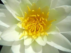 weiße seerose bluete weiß nymphaea alba 04