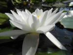 weiße seerose bluete weiß nymphaea alba 05