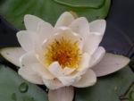 Weisse Seerose Bluete weiss Nymphaea alba 07