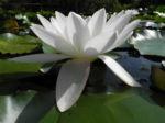 weiße seerose bluete weiß nymphaea alba 08