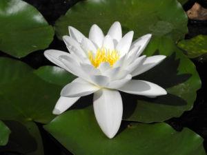 weiße seerose bluete weiß nymphaea alba 17