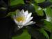 Zurück zum kompletten Bilderset Weiße Seerose Nymphaea alba