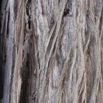 Weisse Zypresse Baum Frucht gruen Callitris glaucophylla 04